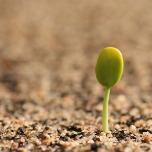 Germinating_seedling